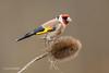 Goldfinch - No3 on Explore - D85_2437.jpg (Mobile Lynn) Tags: birds goldfinch finch nature bird fauna fringilladae oscines passeri passeriformes songbird songbirds wildlife coth5 ngc npc