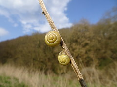 Climbing Smails (Biggsy . . .) Tags: snails