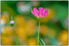 Cosmos (gilbertdorleansphotography) Tags: fleurs montréal paysage bloom canon closeup flora flower flowers garden gsrden jardin jardins macro macrophotography nature photo photographe photographie photography photos fleur