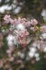 Canon EF 50mm f1.8 test (Caledonia84) Tags: a7ii sony canon ef sigma mc11 adapter 24105 f4 50mm f18 glasgow scotland bokeh erskine cherry blossom great tit park