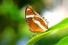 A silent moment (_Opit_) Tags: butterfly bugs animal insects flap wings perching life macro makro closeup petals leaf pattern