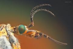 tipula manca (JAVIOT) Tags: tipula balmaseda insecto stacking canon componons