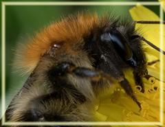 Bumblebee nectaring (close-up). (Dennis Kallmer) Tags: macro bumblebee fujfilm fujifilmxt2 fujinon80mmmacro