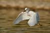 Great Egret - Playin' Fetch (Joel Ingram) Tags: ardea alba great egret white california nikon d850 sigma 500
