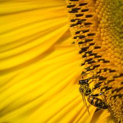 Le repas (alexiscrozier1) Tags: abeille nature nikon photo passion amateur serie photographique jaune sun sunflower