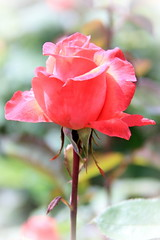 Lady Rose from Hamilton Gardens, New Zealand (Christian Chene Tahiti) Tags: canon 7d hamilton nz jardinsdesroses rosegarden rose nouvellezélande newzealand hamiltongardens jardin garden waikato fleur flore flor flower extérieur voyage travel pink jaunevert