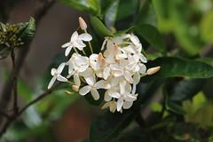 IMG_8473 (Usagi93190) Tags: macro flowers proxi botanical gardens naples florida outdoors nature plants