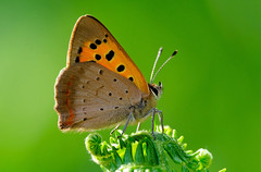 Small Copper - Lycaena phlaeas (normanwest4tography) Tags: