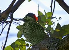 Carpintero. (jagar41_ Juan Antonio) Tags: animal ave aves animales pájaros pájaro carpintero
