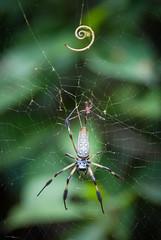 Nature's Composition (Mariene Valesan) Tags: panama panamacity nature naturelovers naturephotography natureshot spider bokeh animal ancon anconhill reservacerroancon quarryheights closeup
