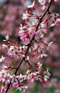 "Cincinnati – Spring Grove Cemetery & Arboretum ""Springtime Cherry Blossoms"""