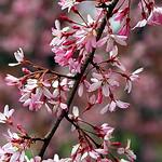 "Cincinnati – Spring Grove Cemetery & Arboretum ""Springtime Cherry Blossoms"" thumbnail"