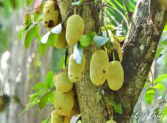 Cempedak (Jodoburger) Tags: singapore flora photography cempedak jackfruit green yellow fruit