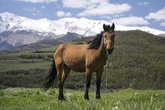Armenia (wesolt) Tags: horse travel tatev landscape mountains snow grass armenia caucasus sunny sky