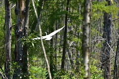 Egret Flying through Slough_1506 (Porch Dog) Tags: 2018 garywhittington kentucky nikond750 nikkor200500mm wildlife nature outdoors bird avian feathers