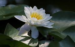 Estinzione (lincerosso) Tags: fiori flowers ninfeabianca nymphaeaalba pianteacquatiche acquepulite inquinamento estate bellezza armonia estinzione
