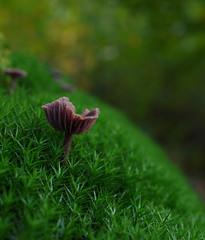 Laccaria amethystina - 06-10-2017 (Visual Stripes) Tags: fungus mushroom moss forest nature 35mmmacro mzuiko olympus microfourthirds mft m43 panasoniclumixg1 bokeh october 2017 autumn dof green