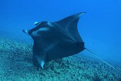Kona wings (BarryFackler) Tags: reefmanta keauhoubay malfredi mantaray fish manta hahalua mantaalfredi ray vertebrate swimming northkona kailuakona keauhou marinelife marineecology marinebiology diving diver dive marineecosystem 2018 southkona scuba sealife sea saltwater seacreature sealifecamera sandwichislands seawater pacificocean polynesia pacific wildlife water westhawaii aquatic animal ocean island konadiving life hawaii hawaiiisland hawaiicounty hawaiidiving hawaiianislands ecology ecosystem reef undersea tropical underwater bigisland organism outdoor fauna kona konacoast bigislanddiving nature barryfackler barronfackler biology bay being coral creature coralreef zoology
