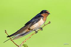 Barn Swallow (jt893x) Tags: 150600mm barnswallow bird breeding d500 hirundorustica jt893x male nikon nikond500 sigma sigma150600mmf563dgoshsms swallow thesunshinegroup coth alittlebeauty coth5