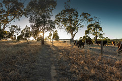 A reminder (dmunro100) Tags: summer autumn dry hot cows adelaide southaustralia