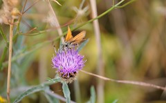 Small Skipper Butterfly (standhisround) Tags: butterfly smallskipper wingwednesday flowers weeds ivinghoebeacon grass skipper insect orange knapweed nature field theridgeway