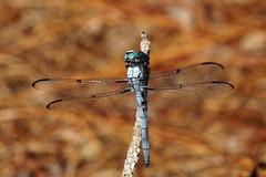 Eastern Pondhawk - male (Jim Atkins Sr) Tags: dragonfly easternpondhawkdragonfly easternpondhawk commonpondhawk erythemissimplicicollis fairfieldharbour northcarolina macro closeup sony sonya58 sonyphotographing insect