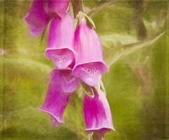 The Foxglove (maureen bracewell) Tags: scotland flower foxglove pink texture manipulated wildflower nature digitalart cannon maureenbracewell painterly closeup