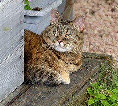Alice (Essential Resinescence) Tags: cat chat tabby