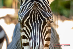 Look into my eyes (Thoober) Tags: zoodortmundtierecanoneos70dsommer zebra animal stripes streifen augen säugetier eyes blackwhite