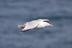 Herring Gull (Dougie Edmond) Tags: scotland unitedkingdom gb rspb reserve clifftop birds nature wildlife sea