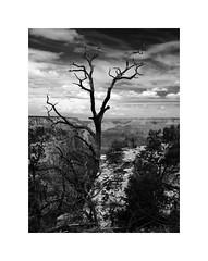 Grand Canyon Tree (Joe Franklin Photography) Tags: grandcanyon blackandwhite blackwhite bw arizona az canyon southrim joefranklin wwwjoefranklinphotographycom almostanything