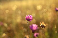 Nature... (Hasan Yuzeir 📷) Tags: nature bokeh macro focus blur sun sunshine flower hasanyuzeir canon 1300d