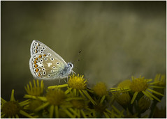 Sipping the Nectar (Charles Connor) Tags: commonbluebutterfly butterflyphotography butterflies flyinginsects insectphotography insects insectmacro macrophotography macro closeups canondslr