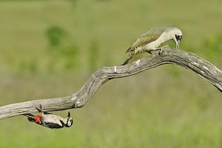 Great-spotted Woodpecker & Green Woodpecker