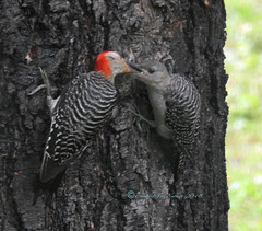 Juvenile Red-bellied Woodpecker (carolinawren2) Tags: redbelliedwoopeckers juvenileredbellied woodpeckers backyardbirds birding ohio piciformes picidae