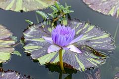 Water lilies #2 (Nikolaos Gavrilakis) Tags: gavrilakis nikon d750 tamron 70300 lake water lilies waterlilies wilhelma stuttgart νούφαρα λουλούδι κήποσ garden λίμνη νίκοσγαβριλάκησ