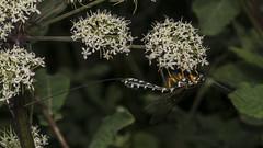 Sabre Wasp (prajpix) Tags: insect invertebrate bug nature highlands scotland wild wildlife macro closeup umbellifer wasp ichneumon