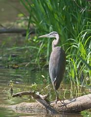 Great Blue Heron (Ardea herodias) (Gavin Edmondstone) Tags: ardeaalba greatblueheron heron bird brontecreek oakville ontario