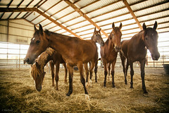 Mustang and Burro Adoption (Jen MacNeill) Tags: mustang wild horse horses equine blm adoption nature animals