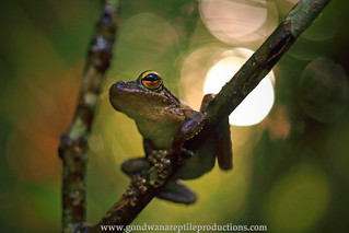 the Kuranda Tree Frog..