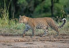 Leopard Cub  - Panthera pardus (rosebudl1959) Tags: 2018 kenya masaimara zebraplains kabososfemalecub leopard female zebraplainsmaracamp