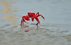 Red Alert!!! (Anirban Sinha 80) Tags: nikon d610 fx 500mm f4 ed vrii n g 17xtc bokeh crab red natural beach sea 850mm action running