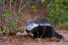 Honey Badger (Ratel) (leendert3) Tags: leonmolenaar southafrica wildlife nature mammals honeybadger coth5 ngc npc