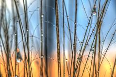 Dewdrops in the Morning (Michael F. Nyiri) Tags: dewdrops longbeach california color nature signalhillca