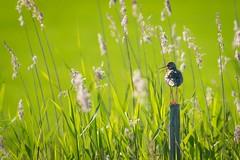 The guardian (pakerholm) Tags: sigma150600 sigma150600f563dgsports sigma150600mmf563 sigmasport sigma 150600 600 nikon d600 d610 nikond600 nikond610 fullframe fullformat fågelskådning ornitologi ornithology birdwatching birds bird fågel fåglar linnut lintu wildlife animals vildadjur åland thealandislands finland suomi
