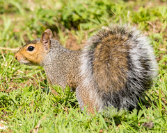 Squirrel (michaelphillips3) Tags: forestfarm wildlife
