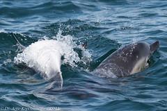 AHK_6114 (ah_kopelman) Tags: 2018 cresli creslivikingfleetwhalewatch delphinusdelphis montaukny shortbeakedcommondolphins vikingfleet vikingstarship whalewatch