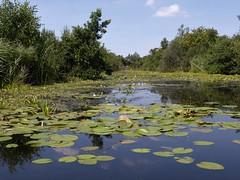 White lilies, Alde Feanen, Eernewoude, Fryslan (Alta alatis patent) Tags: aldefeanen eernewoude lily white floationg leaves landscape