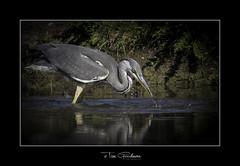 Next time! (timgoodacre) Tags: heron greyheron bird birds birdportrait wildbird waterbird waterfowl water waterdrops wildlife wildanimal wildfowl wild ngc nature