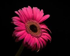 Single Pink Gerbera Daisy 0806 (Tjerger) Tags: nature flower bloom blooming daisy plant natural flora floral blackbackground beautiful beauty black green wisconsin macro closeup yellow single pink summer gerbera